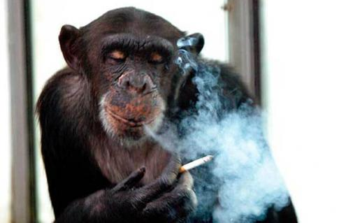Image result for drunked chimp